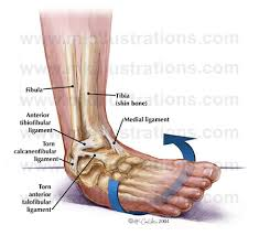 ankle joint |